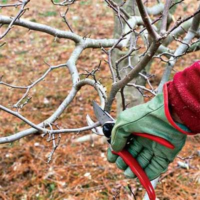hand pruning tree