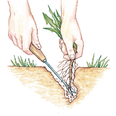 illustration of hand pulling out weed with spade tool
