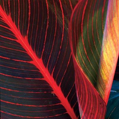 tropicana canna plant