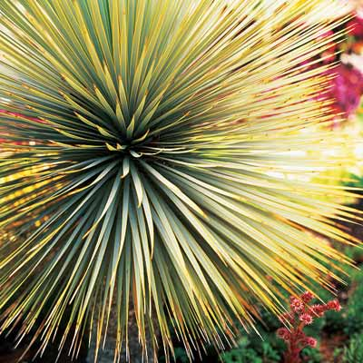 silver yucca plant