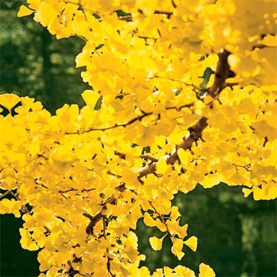 ginko tree for bright colored fall trees and shrubs