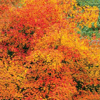 smokebush for bright colored fall trees and shrubs