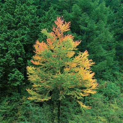 katsura tree for bright colored fall trees and shrubs