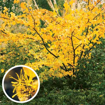 witch hazel for bright colored fall trees and shrubs