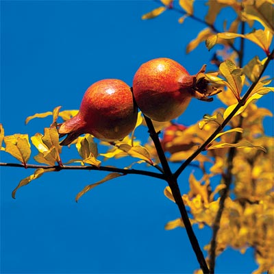 pomegranate for bright colored fall trees and shrubs