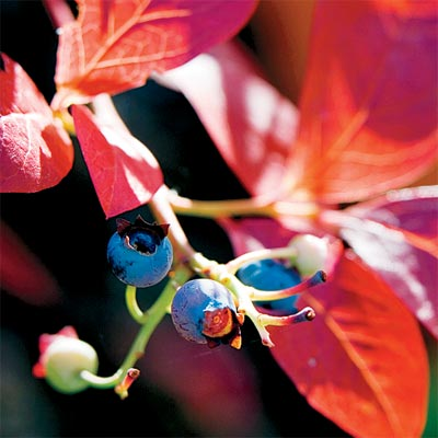 blueberry for bright colored fall trees and shrubs