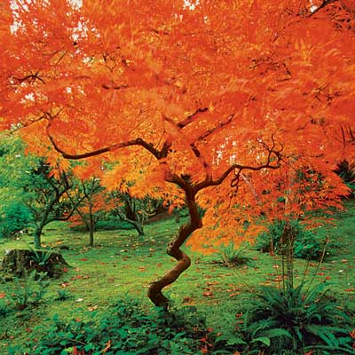 maple for bright colored fall trees and shrubs