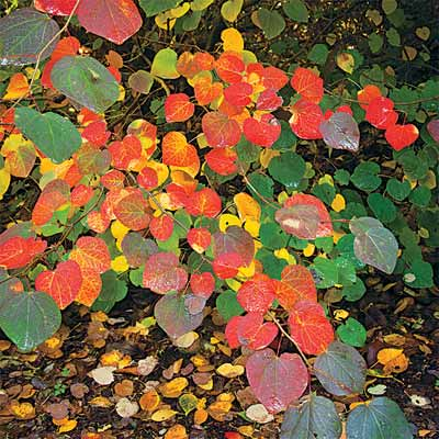 redbud for bright colored fall trees and shrubs