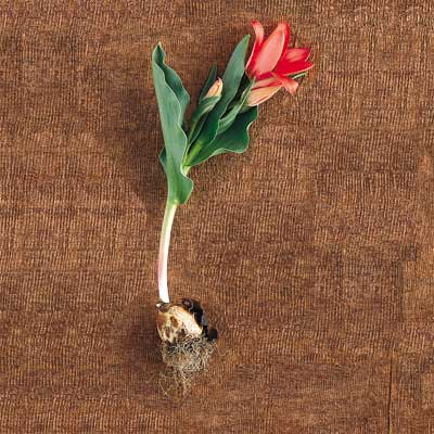 greig's tulip