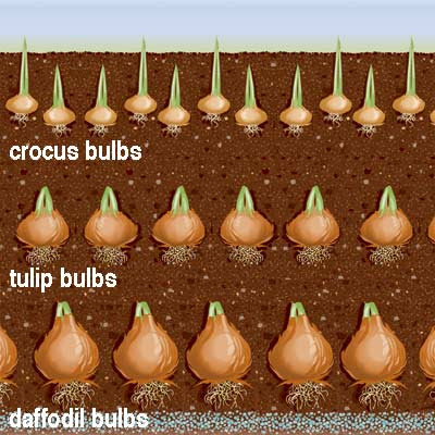 how to cook tulip bulbs