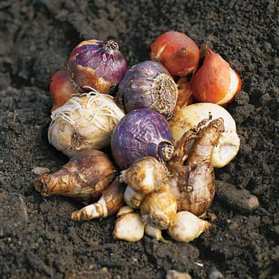 spring flower bulbs to be planted in fall season