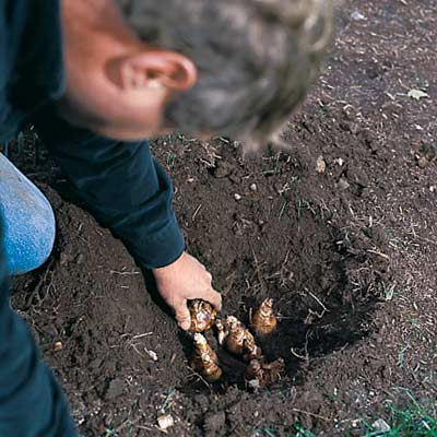 man placing spring bulbs in hole for planting