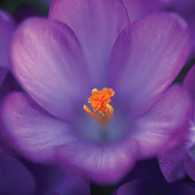 purple dutch crocus spring flower