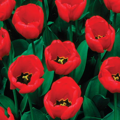 red emperor tulip spring flower