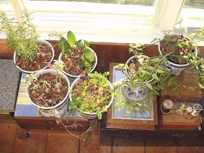 Potted herbs for growing indoors