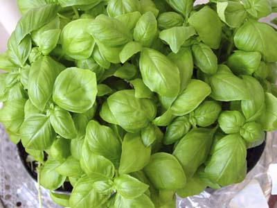 Potted basil for cardiovascular health