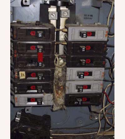 home inspection photo of rat fried in open knockout