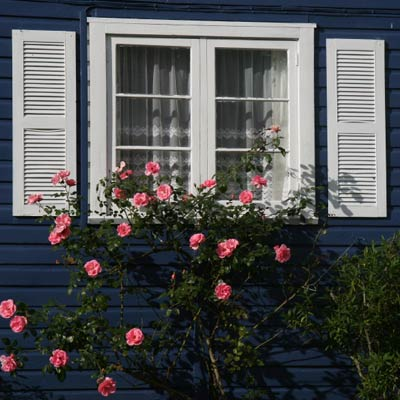 rose bush planted under window for security
