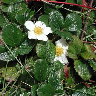 Coastal or Beach Strawberry for rain gardens