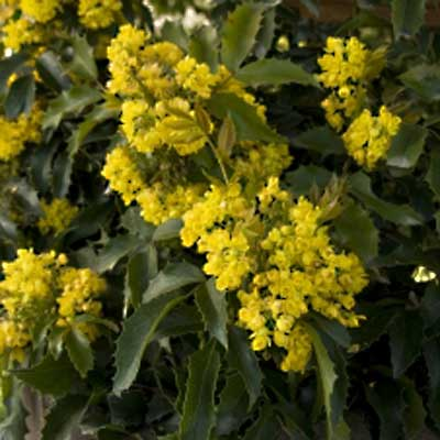 Compact Oregon Grape for rain gardens