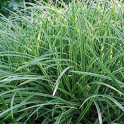 'Ice Dance' Japanese Sedge for rain gardens