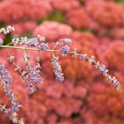 Russian Sage for rain gardens