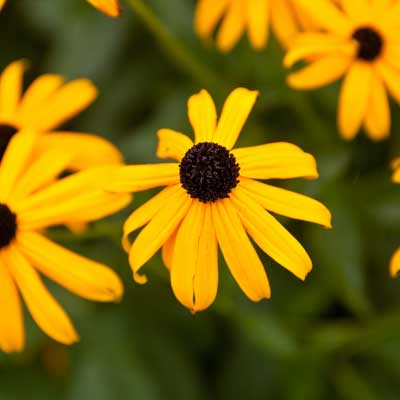 Black-eyed Susan for rain gardens