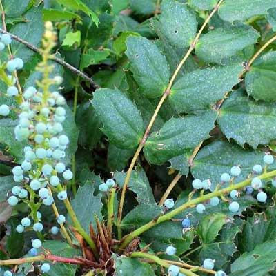 Low Oregon Grape  for rain gardens