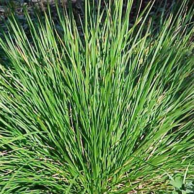 Tufted Hair Grass for rain gardens