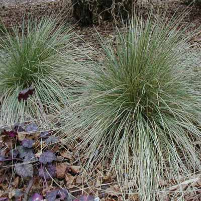 Blue Oat Grass for rain gardens