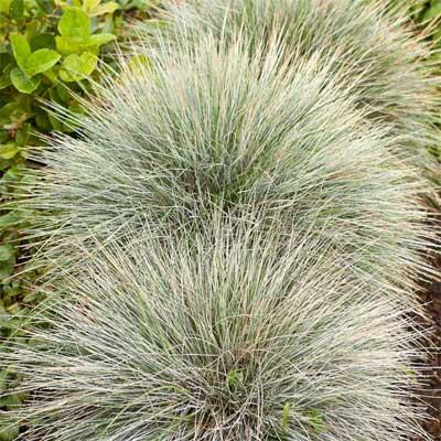Blue Fescue for rain gardens