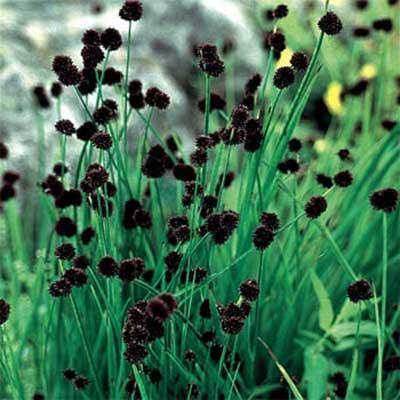 Dagger-leaf or Sword-leaf Rush for rain gardens