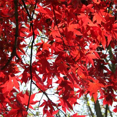 'Fireglow' Japanese Maple for rain gardens