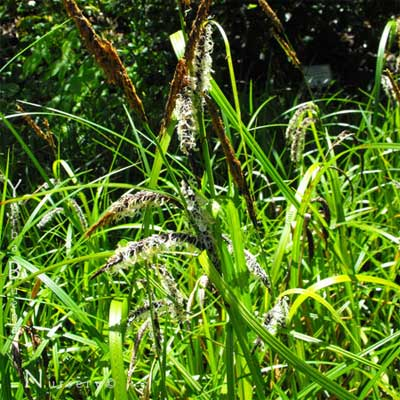 Slough Sedge for rain gardens