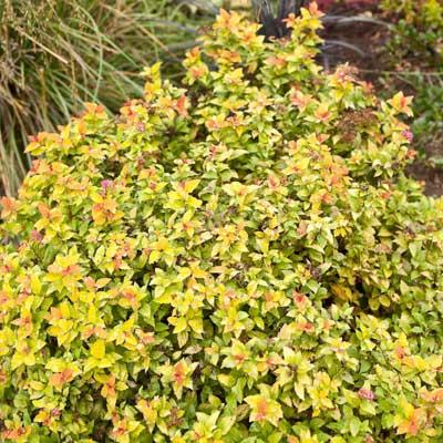 'Bumalda' Spiraea for rain gardens