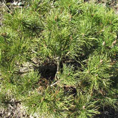 Dwarf Mugo Pine for rain gardens