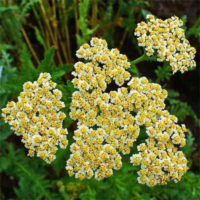 'Moonshine' Yarrow for rain gardens