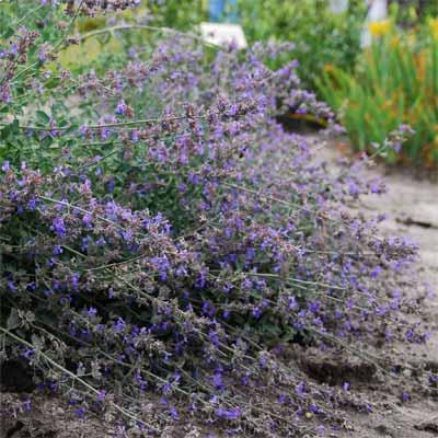 Nepeta for rain gardens