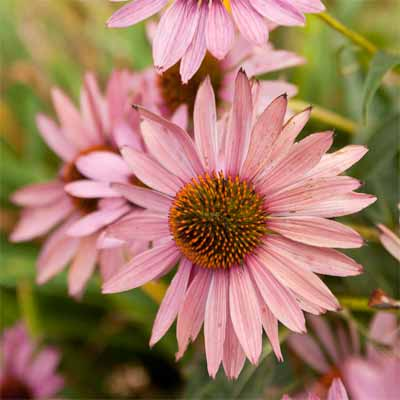 Purple Coneflower for rain gardens