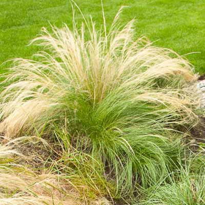 Mexican Feather Grass for rain gardens