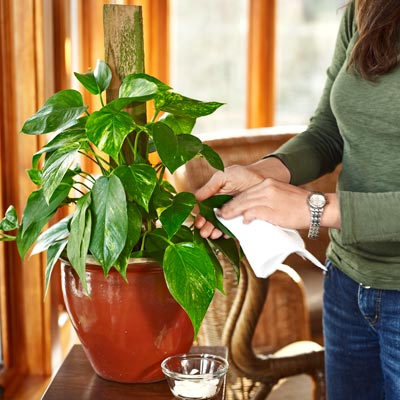 woman buffing house plant leaves with mayonnaise and a cloth 