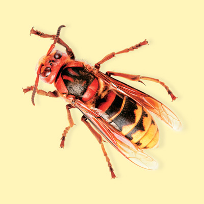 how to kill hornets in the house
