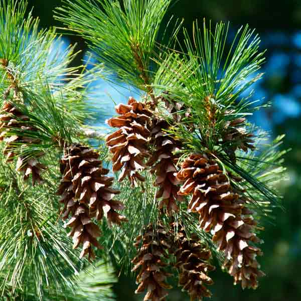 pine tree and pinecones