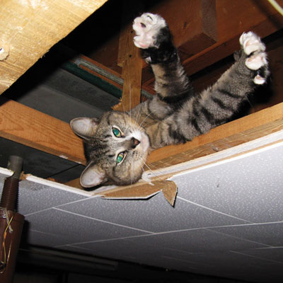 a cat stretches out in the framing area of a basement ceiling