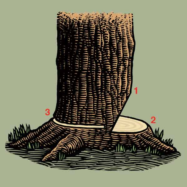 illustration for felling a tree with a chain saw