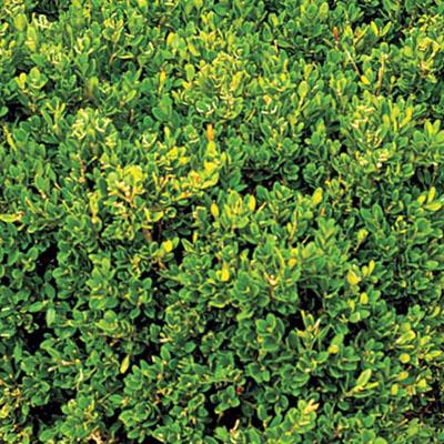 Winter Gem littleleaf boxwood Buxus microphylla