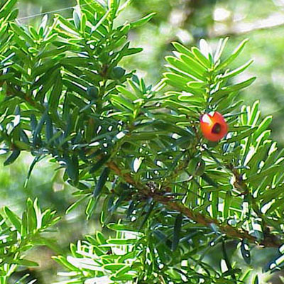 Japanese Yew Taxus cuspidata