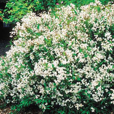 Deciduous flowering shrubs slender deutzia best foundation plants for stellar curb appeal - White flowering house plants ...