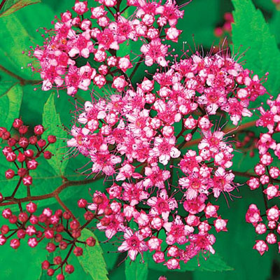 Japanese Dpirea Spiraea japonica Anthony Waterer