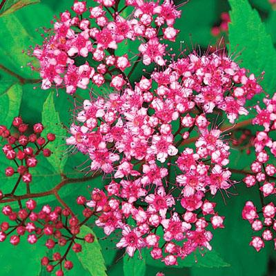 Japanese Dpirea Spiraea japonica Anthony Waterer